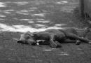 Kann man für einen bei einem Verkehrsunfall getöteten Hund Schmerzensgeld bekommen?